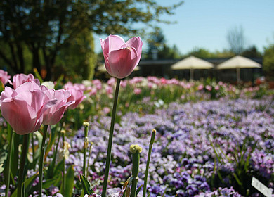 Tulpenbeet mit Tulpen in Nahaufnahme im Park der Gärten in Bad Zwischenahn
