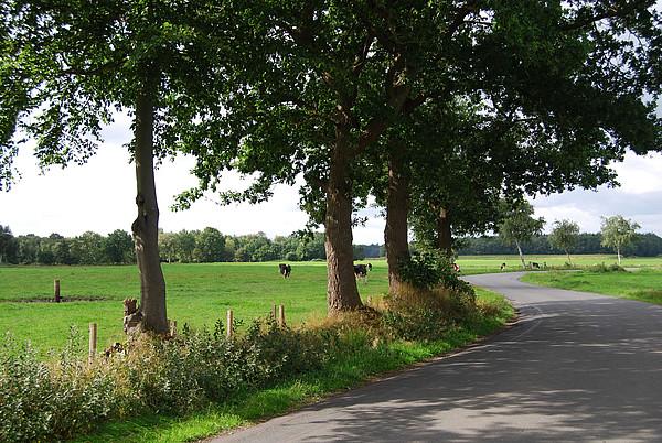 Grasende Kühe auf Weide an einer Straße im Moor in Wiefelstede