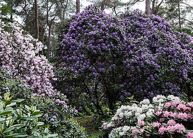 Hoch gewachsene Rhododendren im Rhodopark Hobbie