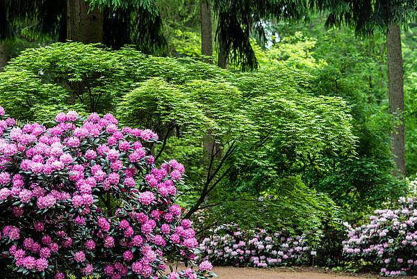 Großer rosafarbener Rhododendron und Bäume im Rhododendronpark Girstede in Wiefelstede