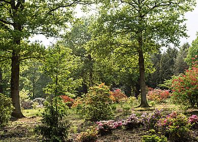 Blühende Rhododendren, Azaleen und Bäume im Rhododendronpark Hobbie in Westerstede