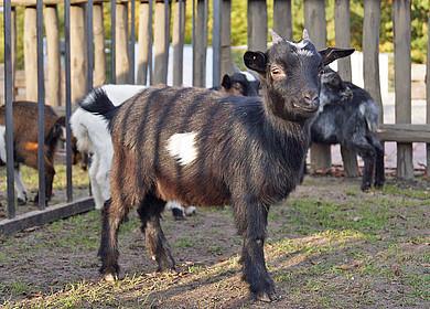 Eine Ziege im Landerlebnis Janßen in Westerstede