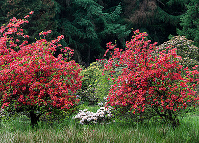 Zwei rote Azaleen auf Wiese im Rhododendronpark Hobbie
